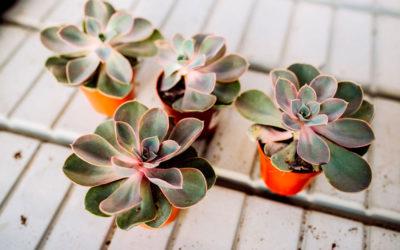 Plantas suculentas: la echeveria glauca